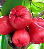 zumari 30 semillas de frutas de manzana rosa