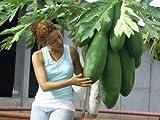 Súper sabroso - frescas semillas de papaya fruta - 50 semillas MEJORES