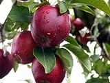 30 semillas de manzana deliciosa roja, pumila malus, semillas de árbol (duro, rápido, comestible, color otoño)