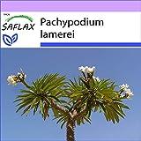 SAFLAX - Palma de Madagascar - 10 semillas - Pachypodium lamerei