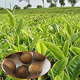 5pcs deliciosas semillas de árbol de té verde fresco y saludable yarda planta de tierra de cultivo para mujeres, hombres, niños, principiantes, jardineros regalo