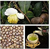 25 Piezas Semillas Semillas De Té Verde Fresco Camellia Sinensis Hermosa Decoración Plantación De Jardín En El Patio Al Aire Libre Adecuado Para Principiantes