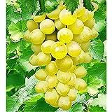 TOMASA Seedhouse-30 piezas de semillas de uva vides de uva semillas de uva mezcladas, plantas frutales deliciosas árboles frutales