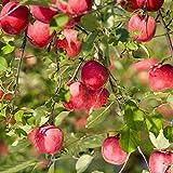 ADOLENB Seed House - Semilla de manzana Calidad superior Manzana Gran tasa de cogollos Semilla de manzana roja Malus Colección matrimonial Árboles frutales Multianual