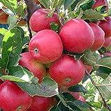 Promoción 30 PC Semillas Bonsai Manzano raras semillas de la fruta bonsai tree-- América rojo delicioso jardín de las semillas de manzana para la maceta de flores