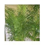 10 Semillas -Dypsis lutescens- (Areca palm) By Samenchilishop