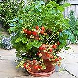 Semillas de Plantas de Fresa 100 Piezas Semillas de Frutas de Bayas de Fresa