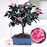 10 semillas de árbol de té verde chino, Camellia Sinensis, jardín bonsái, flor para mujeres, hombres, niños, principiantes, jardineros regalo