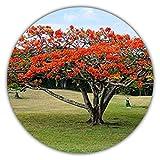 Arce rojo japonés/Arce palmado japonés/Arce palmado púrpura/aproximadamente 10 semillas/adecuado para árbol y bonsái