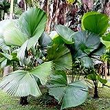 Kisshes 15pcs en Forma de Abanico Planta de Semillas de Palma perenne exótica Bonsai Planta de jardín perenne