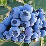 TOYHEART 100 Piezas De Semillas De Frutas De Primera Calidad, Semillas De Arándanos, Mini Semillas De Frutas Naturales Georgicas Nutritivas Para Jardín Azul
