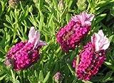 HERENCIA NO OGM cantuesar 25 semillas