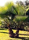 SAFLAX - Palma de California - 12 semillas - Washingtonia robusta