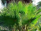 Washingtonia robusta 20 semillas de palma enagua palm