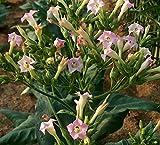 Asklepios-seeds® - 3000 Semillas de Nicotiana Tabacum Tabaco de Virginia, petén, hierba santa