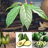 Semillas de aguacate para plantas, 10 semillas de aguacate, fruta verde, planta de jardín para casa, fácil de cultivar por ZHOUBA, Semillas de Aguacate