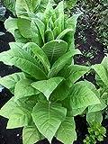 RWS variedad semillas de tabaco Virginia - más aromáticas