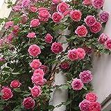 Rosepoem Semillas de Rosas trepadoras, 100 Piezas Semillas de Rosas Multi-Coloridas Balcones Cercas Plantas Decorativas Semillas Flores trepadoras Plantas - Rosa Rosa
