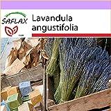 SAFLAX - Lavanda - 150 semillas - Lavandula angustifolia