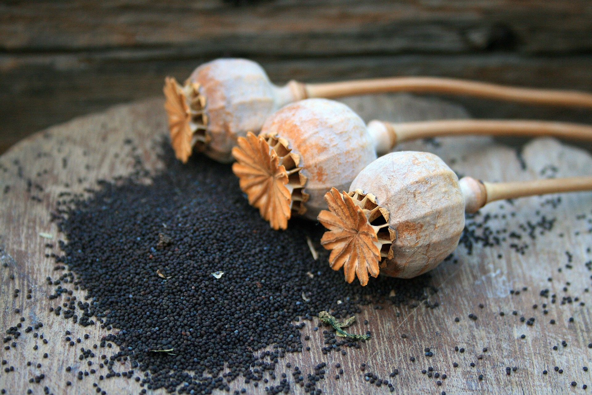 semillas-amapola
