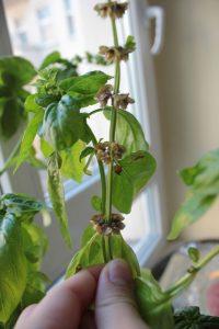 semilla de albahaca germinación