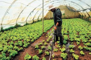 semillas de lechuga cultivo