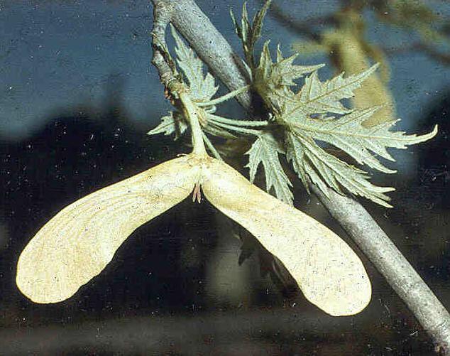 semillas de samara clasificación