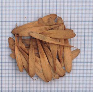semillas de samara germinación