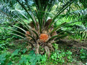semillas la palma clasificación