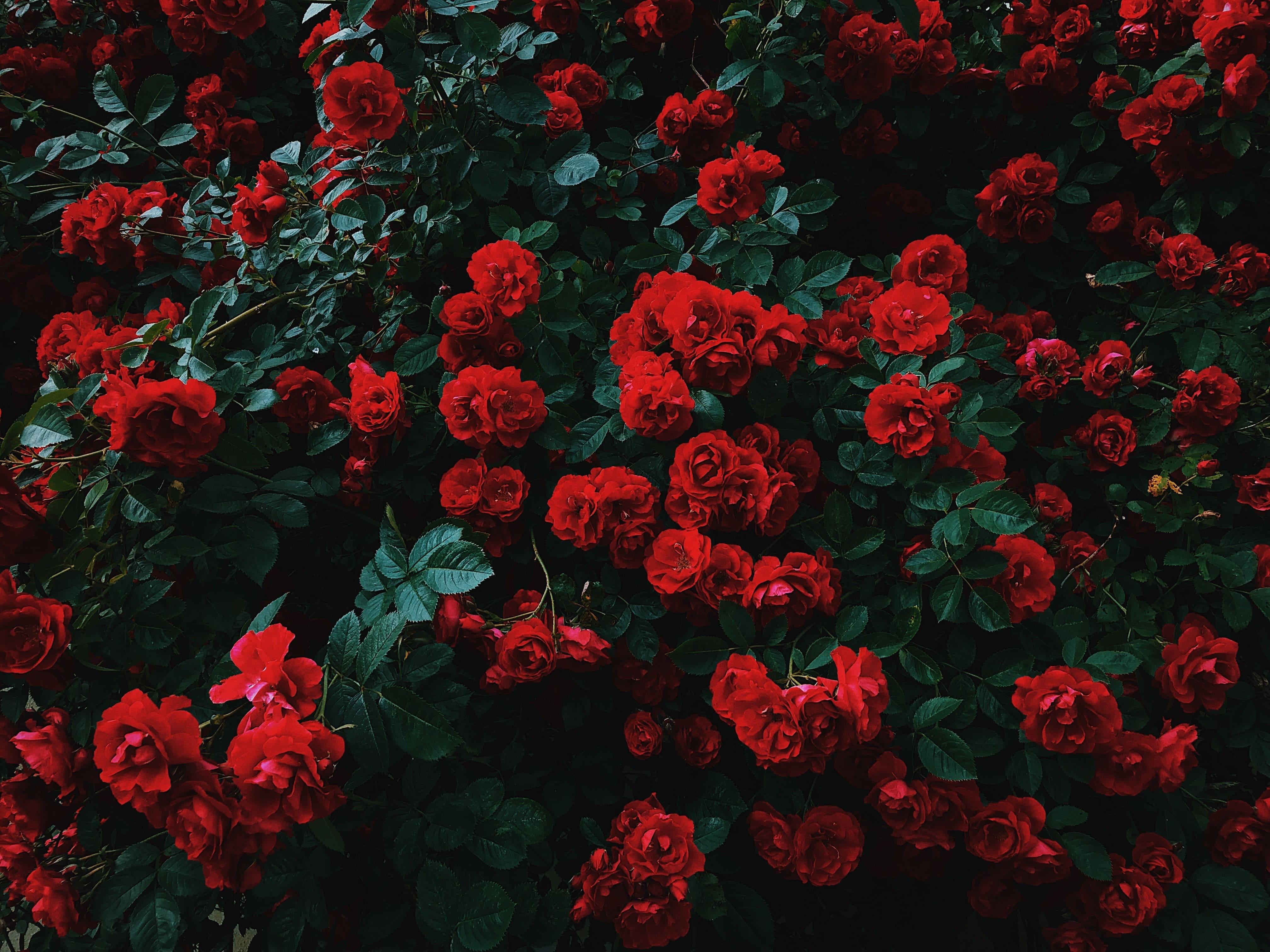 semillas-rosas