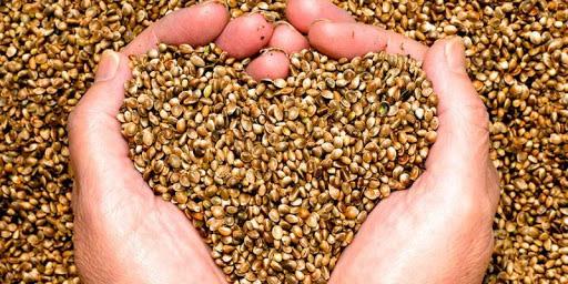 cómo cultivar las semillas de alfalfa