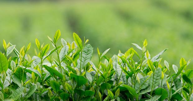 plantas de té verde