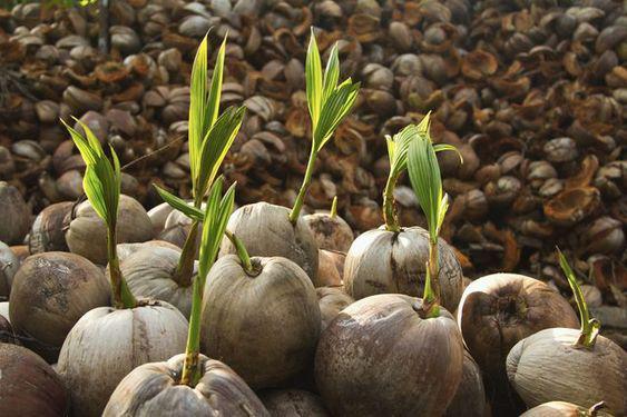 Semillas de coco