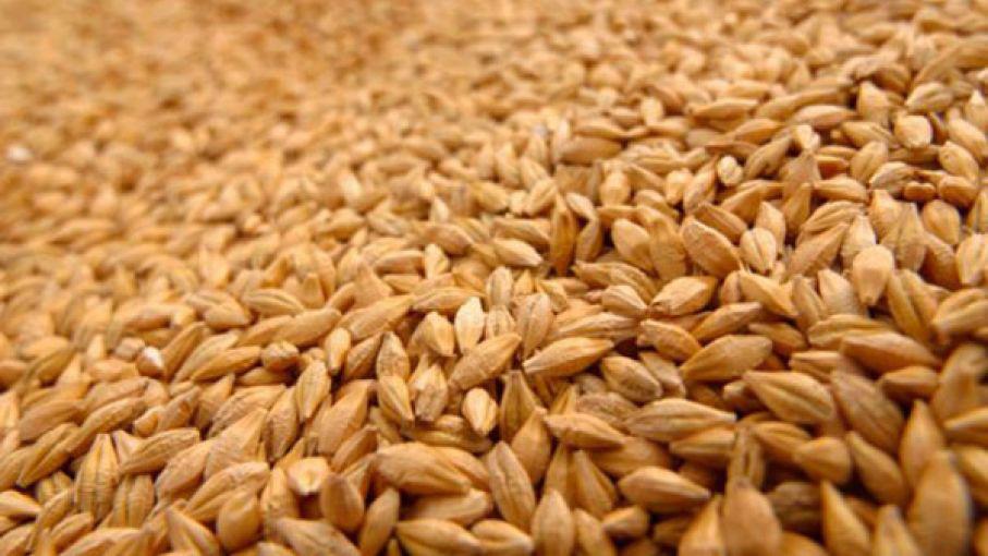 semillas de trigo