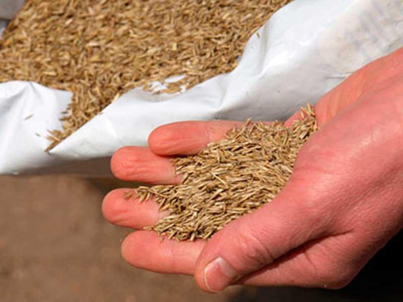 semillas cesped