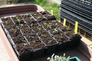 semilleros tomates