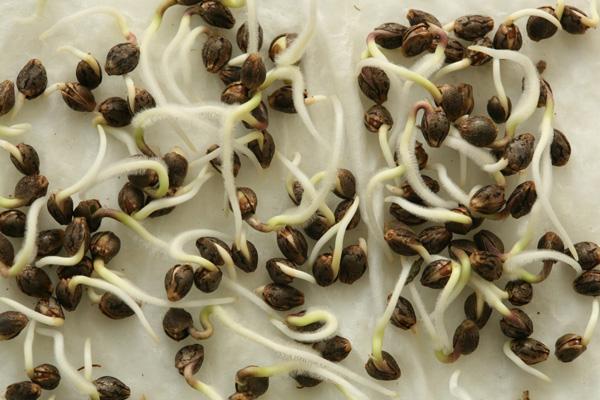 Cómo germinar semillas de marihuana