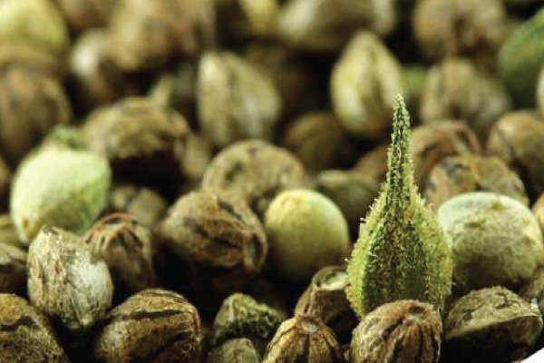 pasos para germinar semillas de marihuana