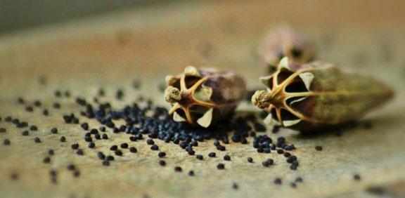 semillas de Amapola propiedades