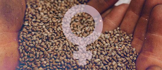 ventajas de las semillas feminizadas