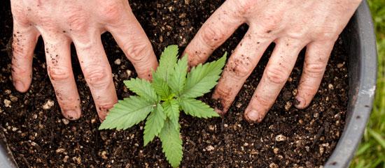 pros y contras de semillas autoflorecientes
