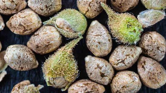 cultivar semillas de marihuana