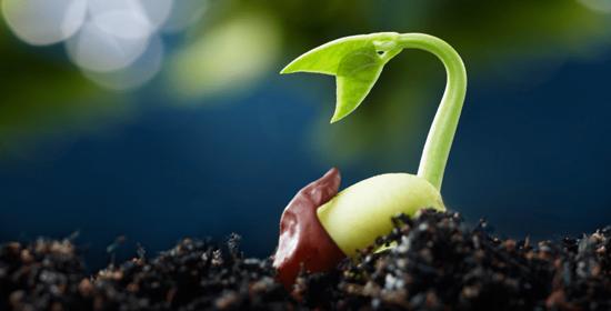 semilla germinada