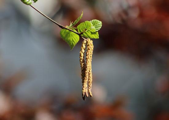 abedul semillas