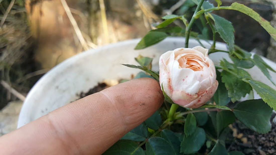 cultivar semillas de rosal